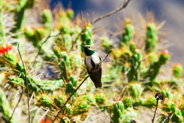 Hummingbird зеленый синий фон красный цвета Сток-фото © Pakhnyushchyy