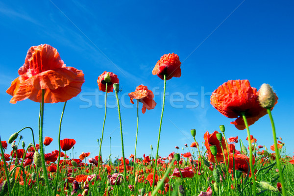 Stok fotoğraf: Haşhaş · çiçekler · alan · mısır · gökyüzü · bahar