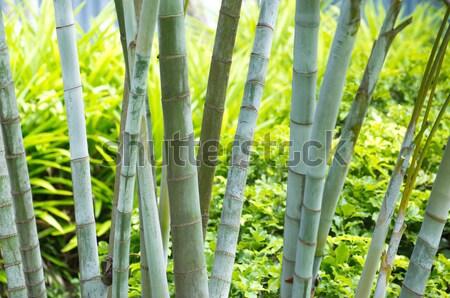 Bambu yalıtılmış yeşil ağaç ahşap doğa Stok fotoğraf © Pakhnyushchyy