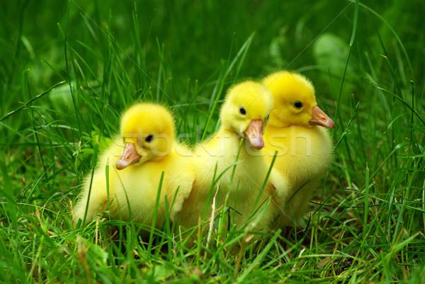 gosling Stock photo © Pakhnyushchyy