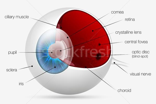 Intern structuur menselijke oog medische lichaam Stockfoto © Panaceadoll