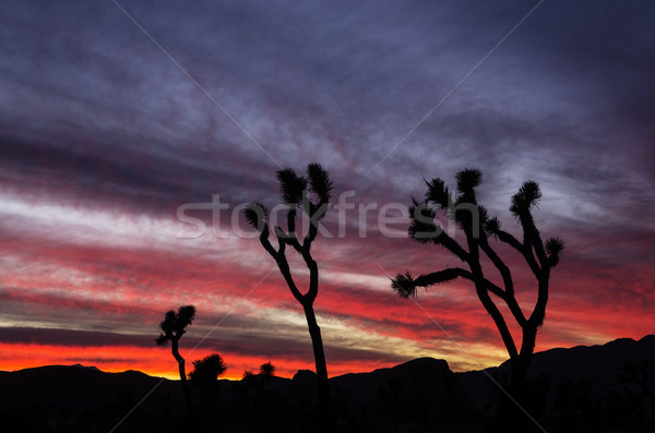 Joshua Tree Sunset Stock photo © pancaketom