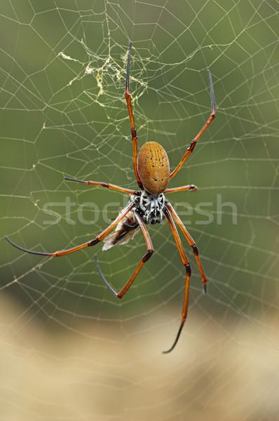 クモの巣 クモ フライ クモの巣 昆虫 ストックフォト © pancaketom
