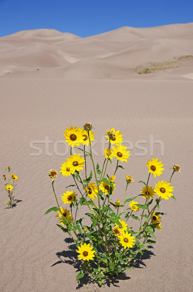 Yellow Flowers Growing In Dunes Stock photo © pancaketom