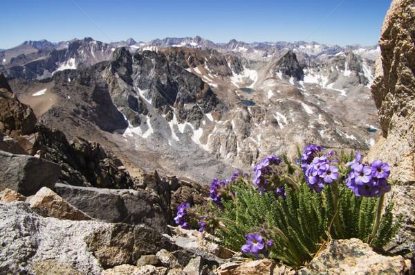 Sky Pilot Flowers In Mountains Stock photo © pancaketom