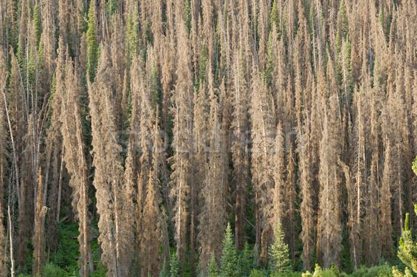 Bark Beetle Killed Pine Trees Stock photo © pancaketom
