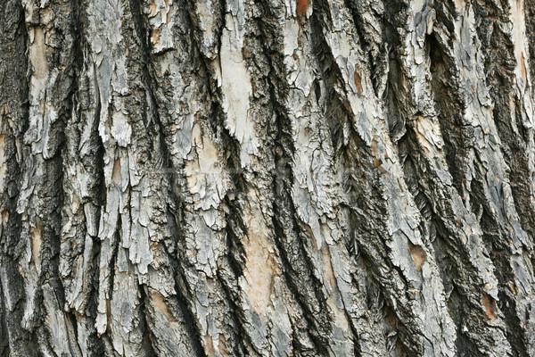 rough bark Stock photo © pancaketom