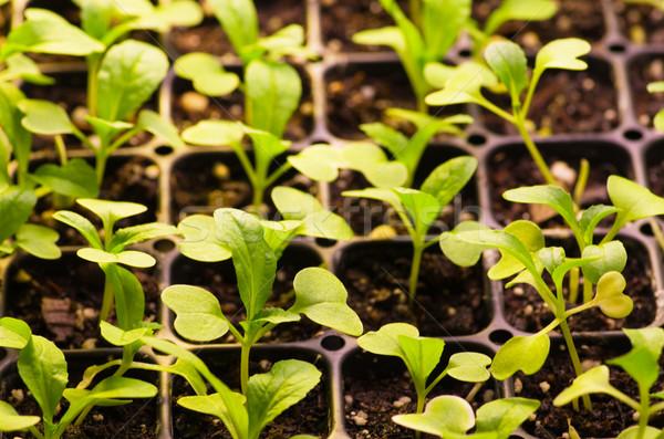 sprouting seedlings Stock photo © pancaketom
