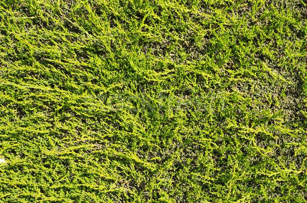 Flat Hedge Background Stock photo © pancaketom