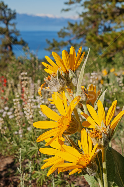 Sierra Wildflowers Stock photo © pancaketom