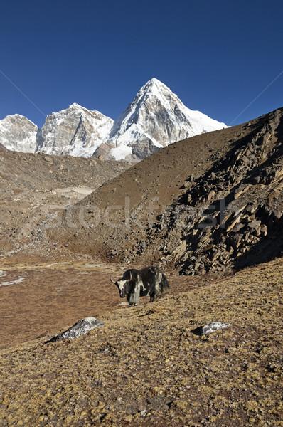 Yak In Nepal With Mountain Stock photo © pancaketom