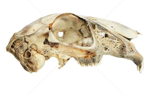 изолированный заяц череп белый зубов мертвых Сток-фото © pancaketom