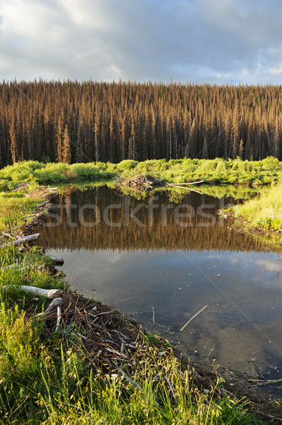 Beaver Pond Stock photo © pancaketom