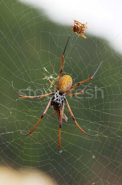 Spider Stock photo © pancaketom