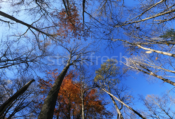 fall tree tops Stock photo © pancaketom