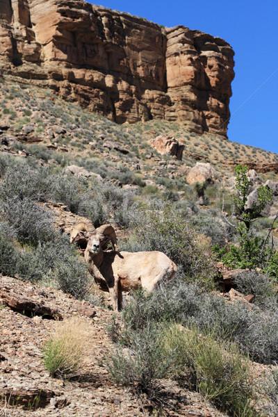 desert bighorn sheep Stock photo © pancaketom