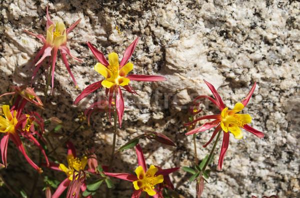 Полевые цветы Гранит Невада гор желтый Purple Сток-фото © pancaketom