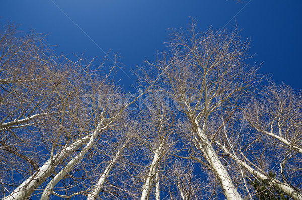 Bare Aspen Tree Tops Stock photo © pancaketom