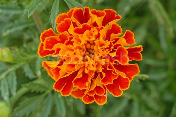 Orange Marigold Flower Stock photo © pancaketom
