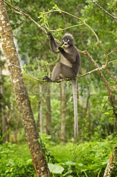 Spectacled Langur Monkey Stock photo © pancaketom