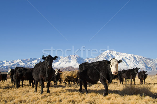 cattle with mountains Stock photo © pancaketom