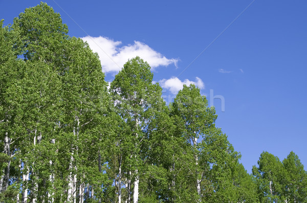 aspen tree tops Stock photo © pancaketom