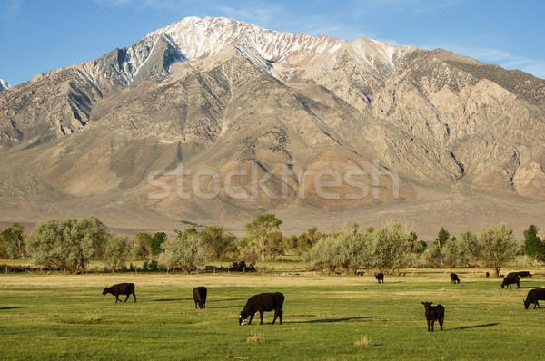 Sığırlar alan altında dağ yeşil vadi Stok fotoğraf © pancaketom