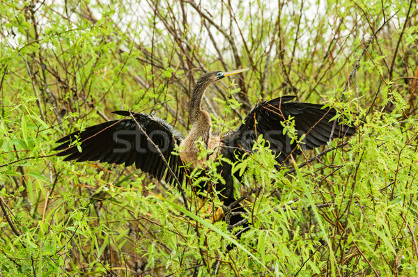 Anhinga Or Snake Bird Stock photo © pancaketom