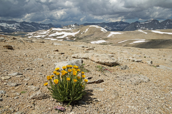 Alpine or wildflower au-dessus jaune croissant Photo stock © pancaketom