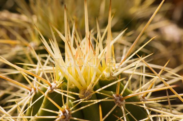 Cactus Spine Macro Stock photo © pancaketom
