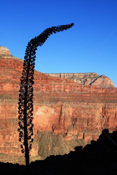 Agavé sziluett Grand Canyon Arizona fekete halott Stock fotó © pancaketom