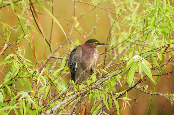 Green Heron Perched On Branch Stock photo © pancaketom