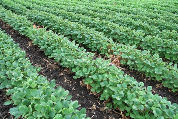 Szójabab mező sorok szójaszósz bab növények Stock fotó © pancaketom