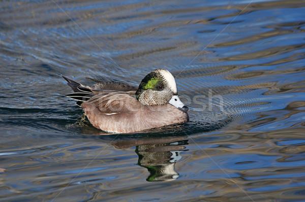 Amerikai férfi kacsa víz madár Stock fotó © pancaketom