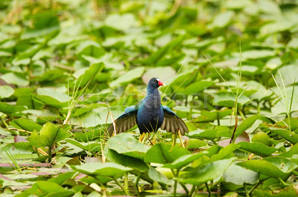 Purple Gallinule Bird Stock photo © pancaketom