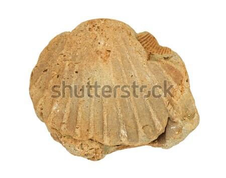 Fossiel shell geïsoleerd witte rock steen Stockfoto © pancaketom