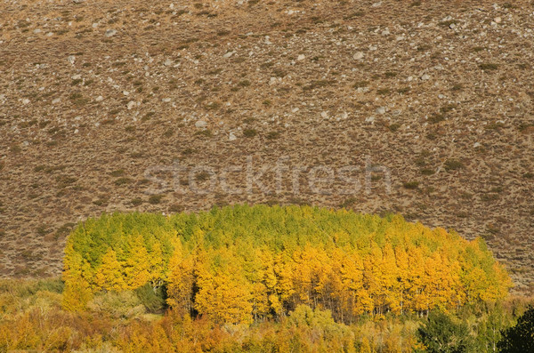 Fall Aspen Grove Stock photo © pancaketom
