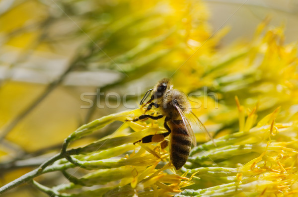 Honingbij Geel bloem macro afbeelding bloemen Stockfoto © pancaketom
