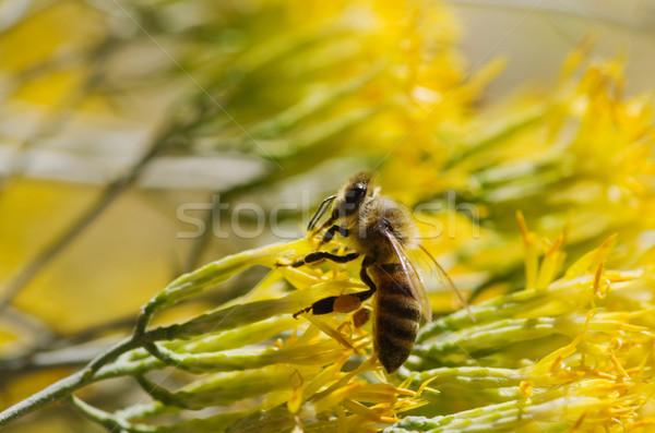 Méh citromsárga virág makró kép virágok Stock fotó © pancaketom