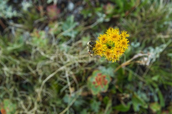 Bee Pollinates Wildflowers Stock photo © pancaketom