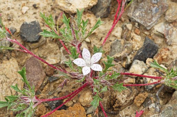 ライラック 花 砂漠 白 カリフォルニア ストックフォト © pancaketom