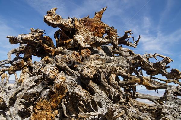 Viharvert fenyőfa gyökerek védtelen fenyőfa gyökér Stock fotó © pancaketom