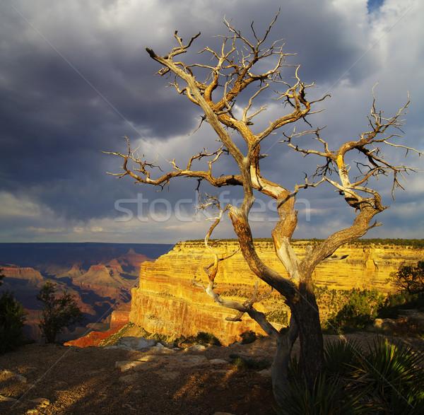 枯れ木 グランドキャニオン 死んだ 松 南 リム ストックフォト © pancaketom