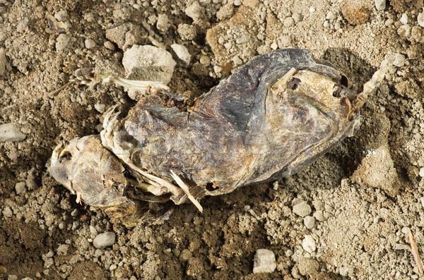 Stock photo: Mummified Dead Rat