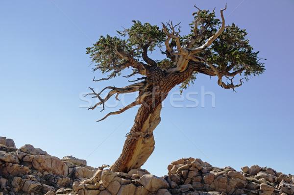 Dől egyedüli fa kék ég Stock fotó © pancaketom