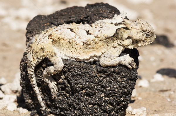Southern Desert Horned Lizard Stock photo © pancaketom