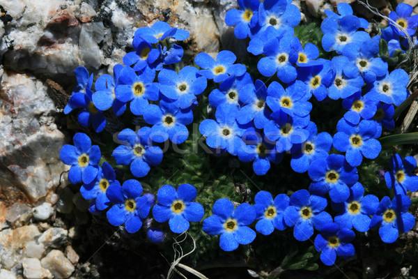 alpine forget-me-not flowers Stock photo © pancaketom