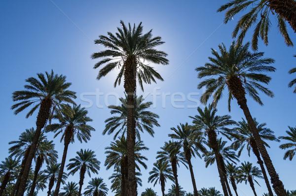 Data palms muitos sol atrás um Foto stock © pancaketom