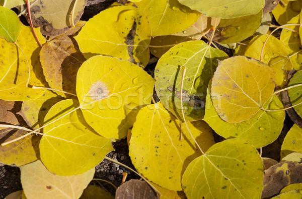 Fallen Aspen Leaves Stock photo © pancaketom