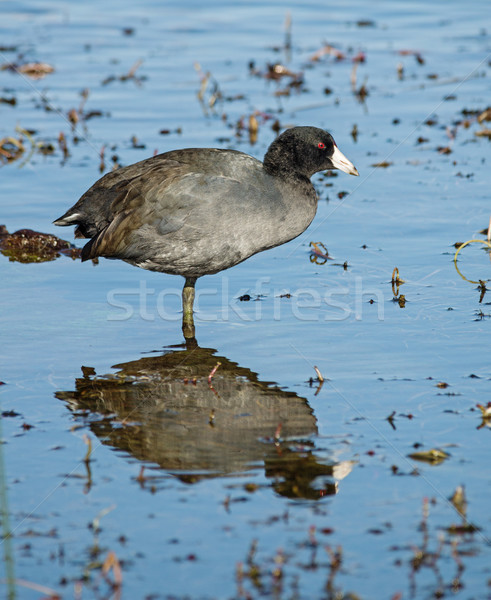 American Coot Stock photo © pancaketom